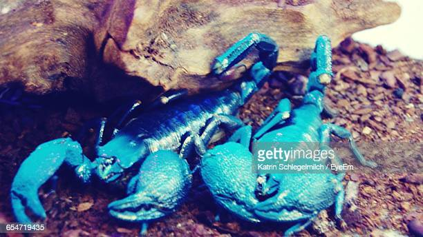 High Angle View Of Blue Scorpions By Rock