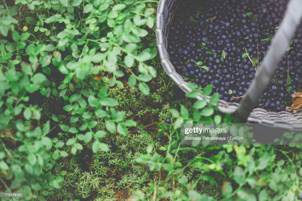 High Angle View Of Blueberries In Wicker Basket On Field : Photo