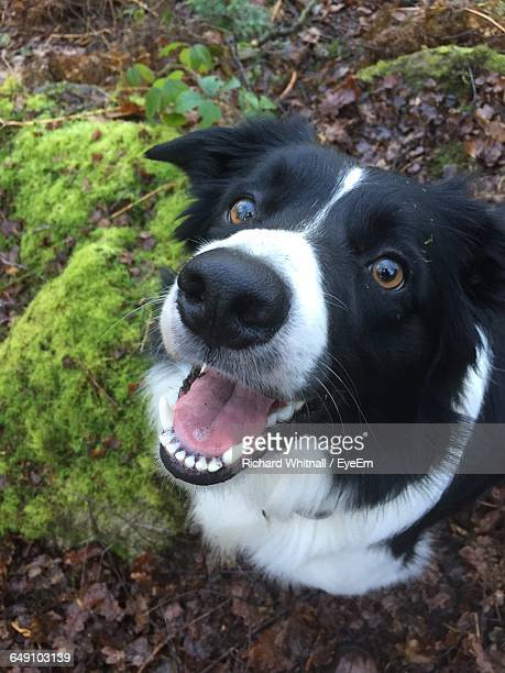 High Angle View Of Border Collie On Field