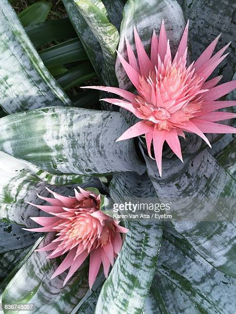 high angle view of bromeliaceae growing outdoors - bromeliaceae stock pictures, royalty-free photos & images