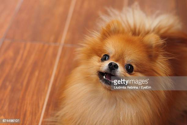high angle view of brown pomeranian dog on hardwood floor at home - volpino di pomerania foto e immagini stock
