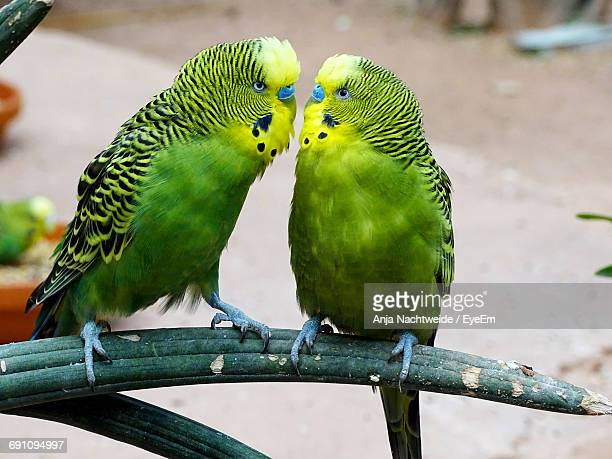 High Angle View Of Budgerigar Birds Perching On Branch