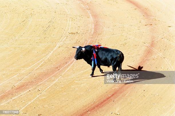 High Angle View Of Bull At Corrida
