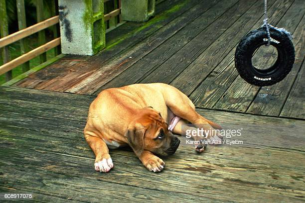 high angle view of bull mastiff puppy lying on boardwalk with hanging tire - bull mastiff stock pictures, royalty-free photos & images