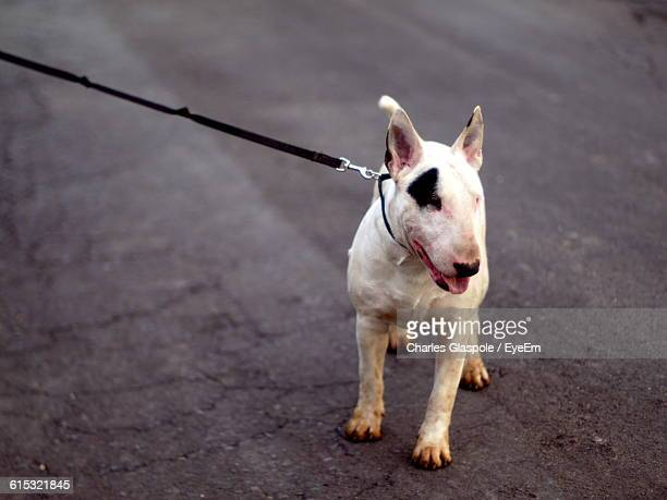 High Angle View Of Bull Terrier On Street