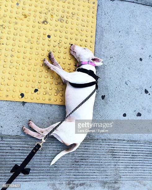 High Angle View Of Bull Terrier Relaxing On Footpath