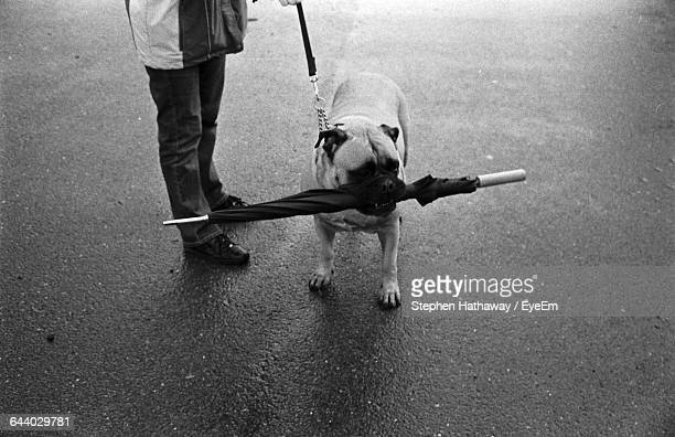 High Angle View Of Bulldog Holding Umbrella In Mouth
