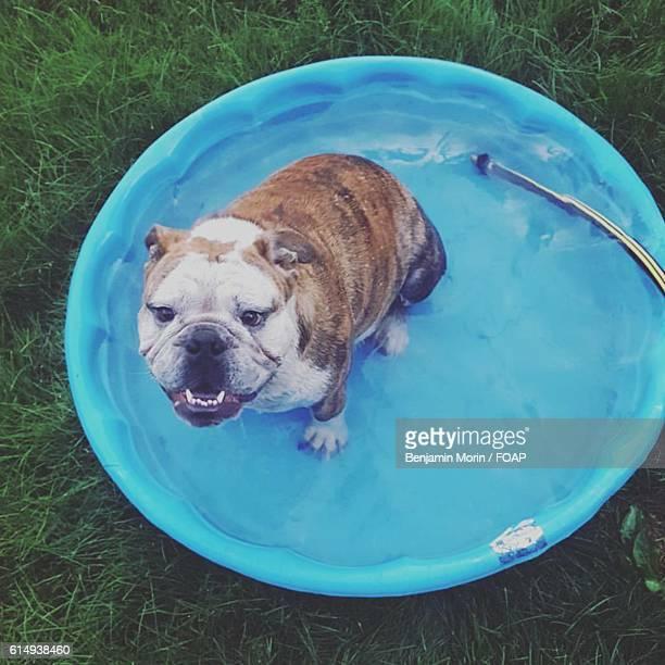 High angle view of Bulldog in washing tub