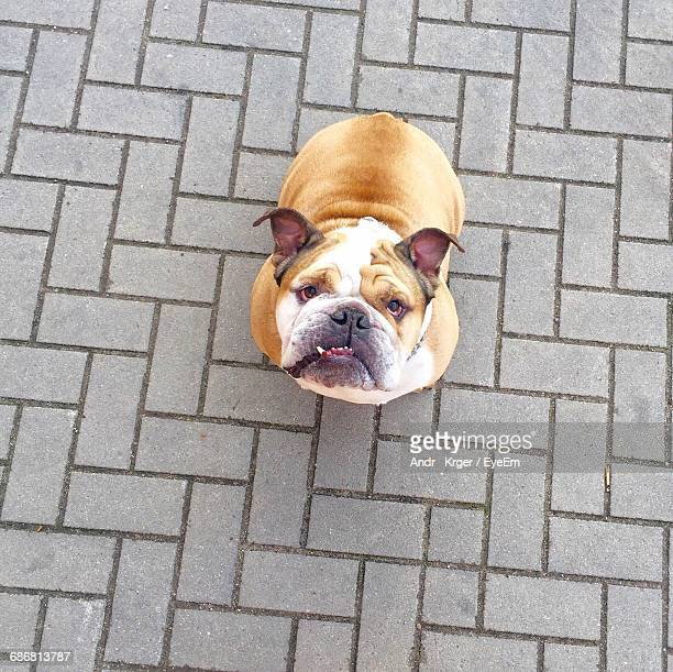 High Angle View Of Bulldog