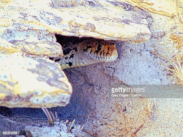 high angle view of bullsnake in rock - bull snake stock pictures, royalty-free photos & images