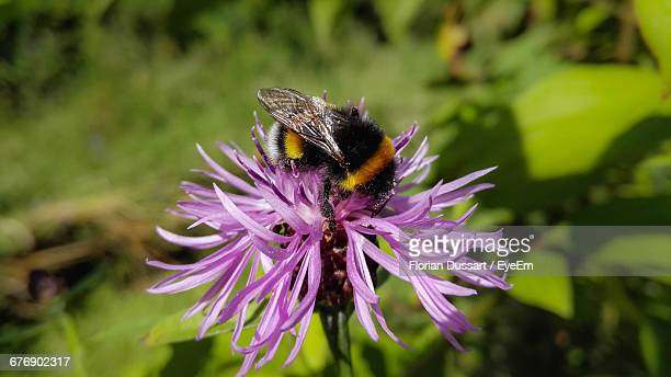 High Angle View Of Bumblebee Pollinating Of Purple Flower At Park