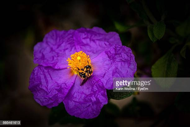 High Angle View Of Bumblebee Pollinating On Purple Flower