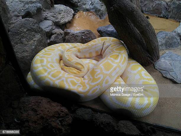 high angle view of burmese python relaxing by rocks - indian python stock pictures, royalty-free photos & images