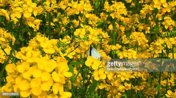 High Angle View Of Butterfly On Oilseed Rape Flower At Field