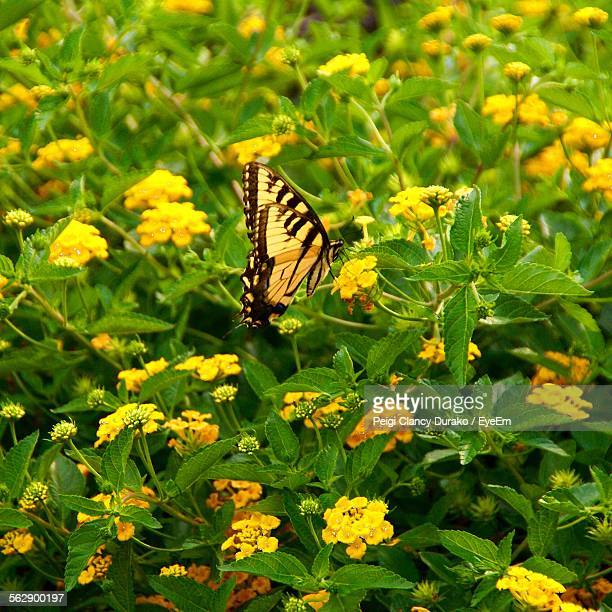 High Angle View Of Butterfly Perching On Yellow Wildflowers