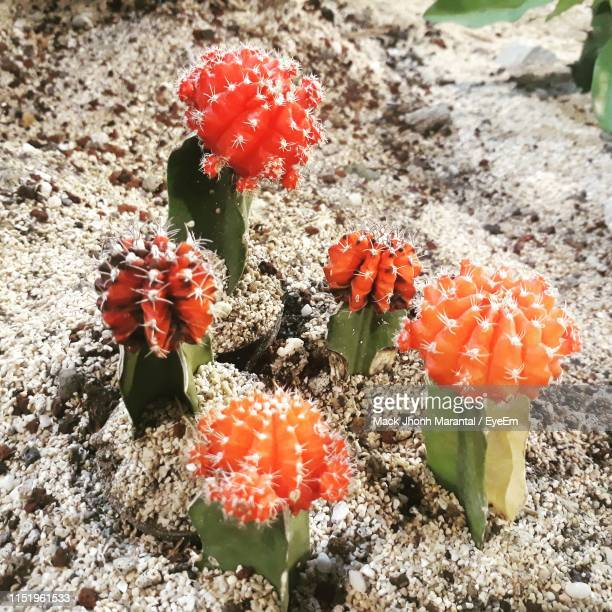 high angle view of cactus growing on field - mack stock pictures, royalty-free photos & images