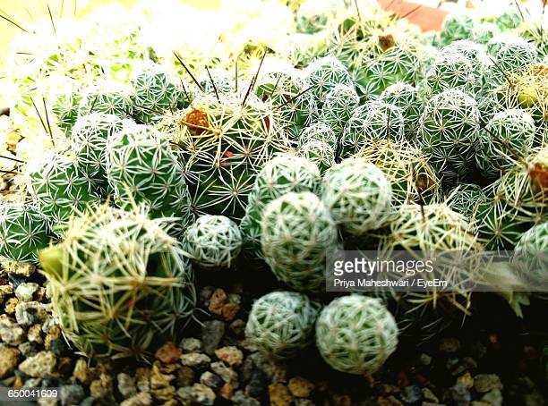 high angle view of cactus plants on field - faridabad stock pictures, royalty-free photos & images