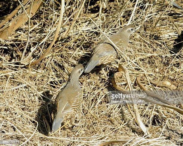 high angle view of california quail on field - quail bird stock photos and pictures
