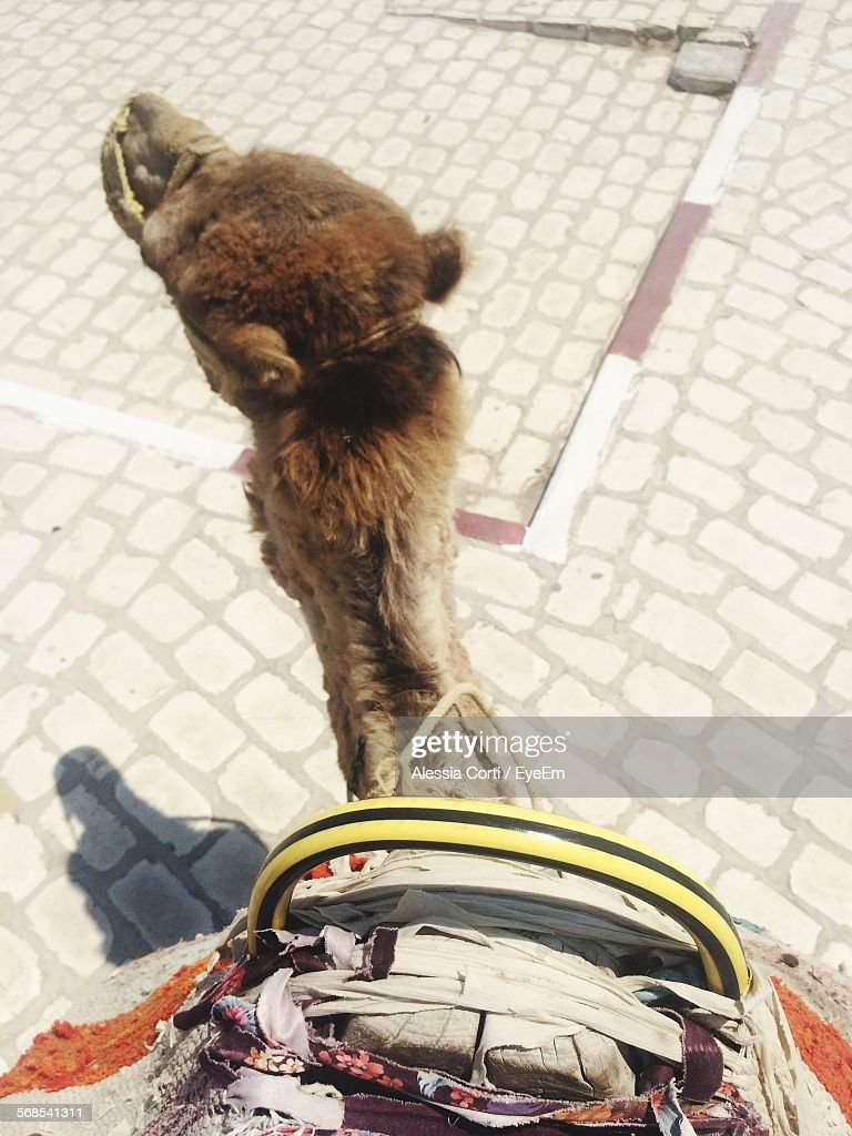 High Angle View Of Camel On Street At El Djem : Stock Photo