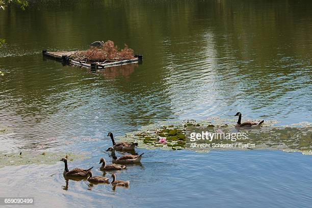high angle view of canada geese on lake - albrecht schlotter foto e immagini stock