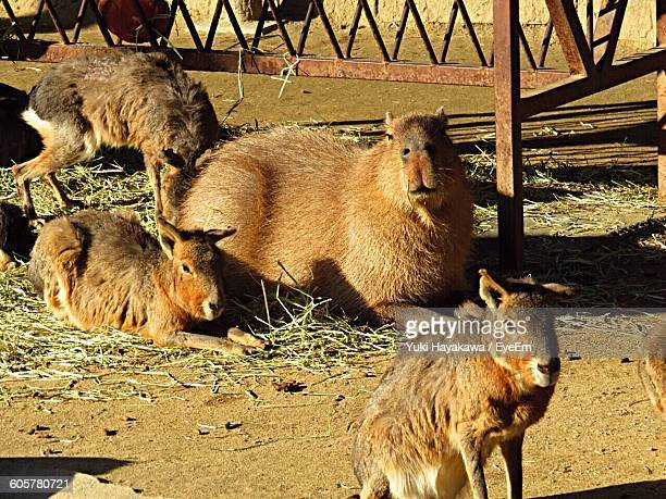 High Angle View Of Capybaras At Zoo