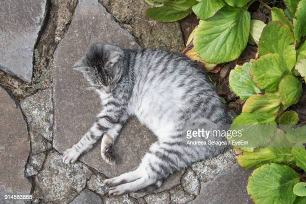 High Angle View Of Cat Lying By Plants On Footpath