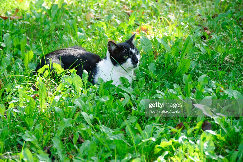 High Angle View Of Cat Relaxing On Grassy Field : Stock Photo