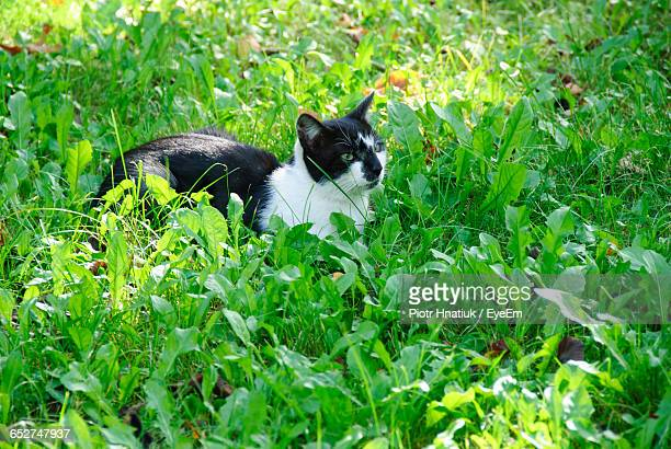 high angle view of cat relaxing on grassy field - piotr hnatiuk ストックフォトと画像