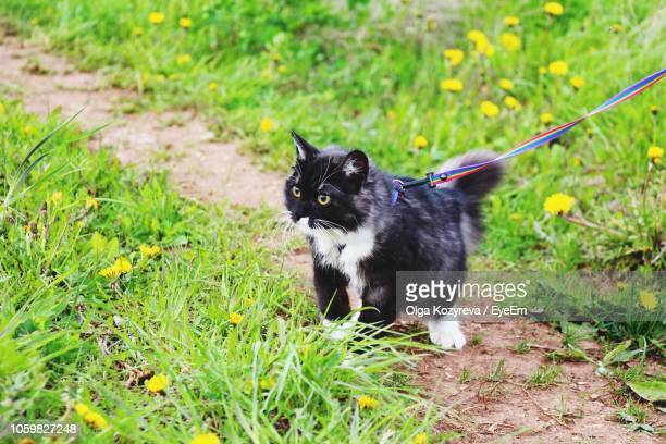 high angle view of cat standing on field - leash stock pictures, royalty-free photos & images