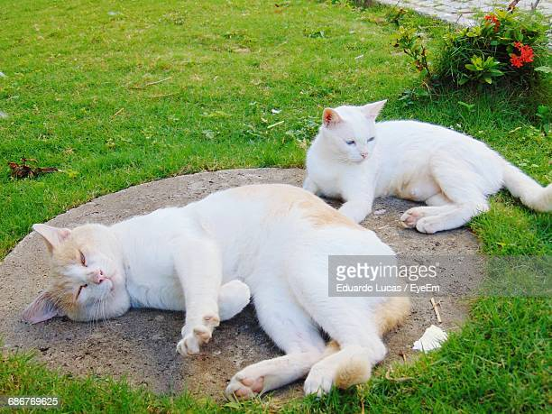 High Angle View Of Cats On Grass At Back Yard