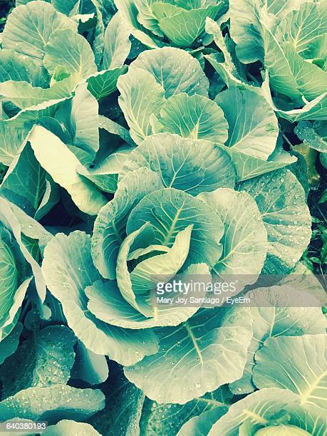 High Angle View Of Cauliflower Leaves