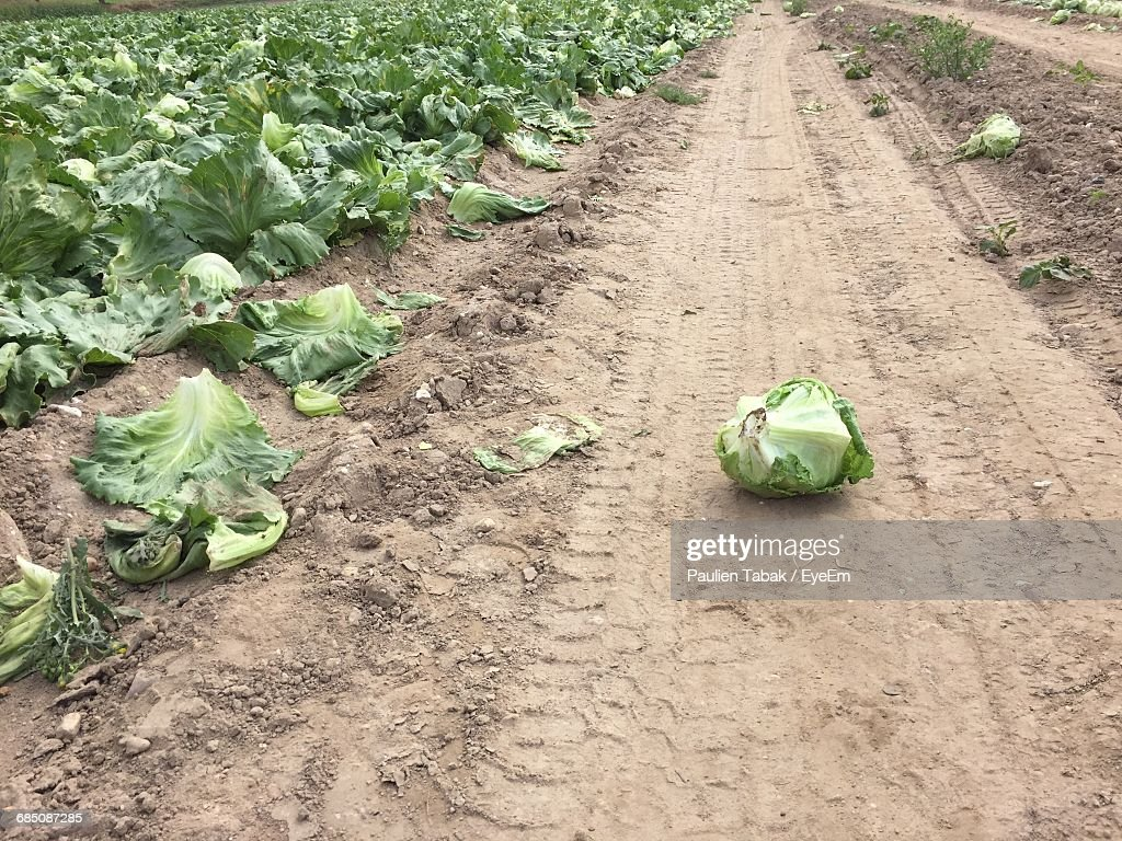 High Angle View Of Cauliflower On Dirt Road By Farm : Stockfoto