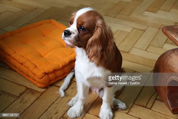 high angle view of cavalier king charles spaniel sitting by orange cushion at home - cavalier king charles spaniel photos et images de collection