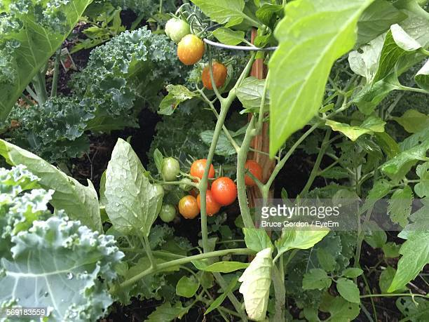 High angle view of cherry tomatoes growing in farm