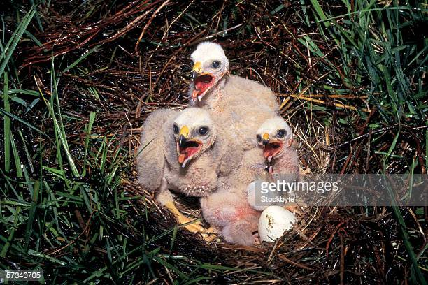 high angle view of chicks in a nest - eagle nest stock photos and pictures