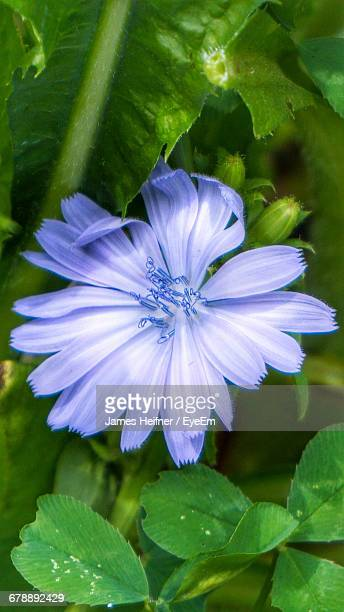 High Angle View Of Chicory Flower Blooming At Park
