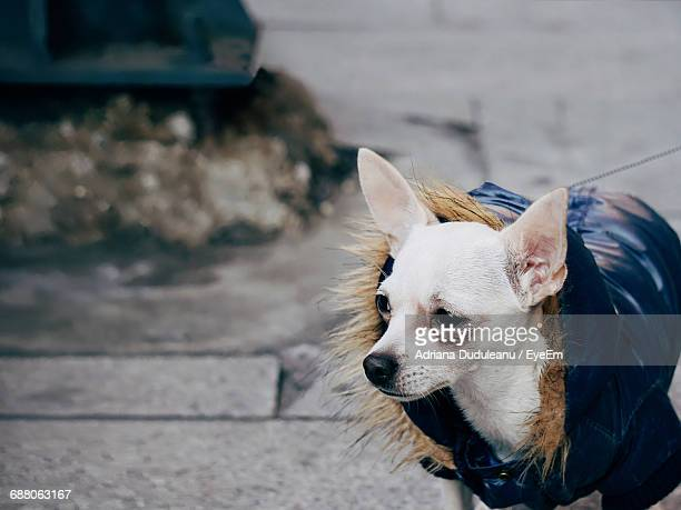 high angle view of chihuahua looking away on footpath - adriana duduleanu stock photos and pictures