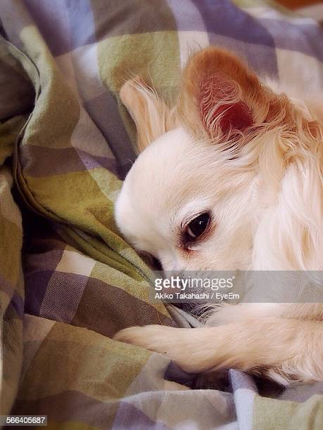 High Angle View Of Chihuahua Relaxing On Bed