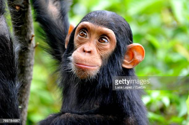 high angle view of chimpanzee in forest - primate stock pictures, royalty-free photos & images