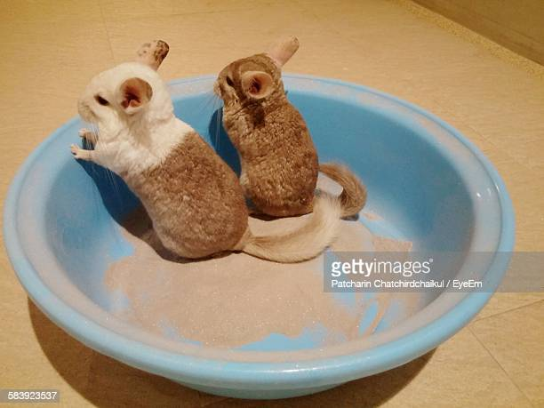 High Angle View Of Chinchillas In Tub At Home