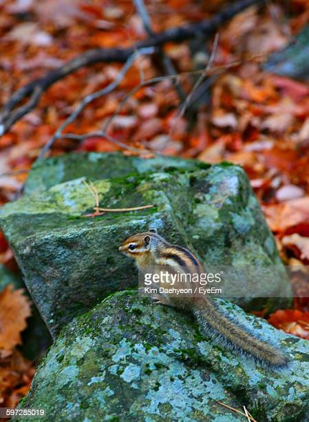 High Angle View Of Chipmunk On Rock During Autumn
