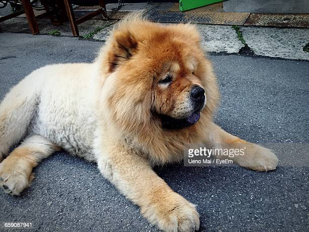 high angle view of chow relaxing on footpath - chow stock pictures, royalty-free photos & images