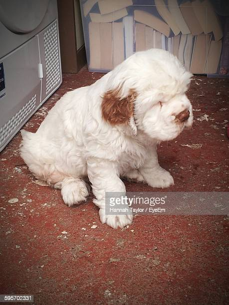 high angle view of clumber spaniel puppy - spaniel stock photos and pictures