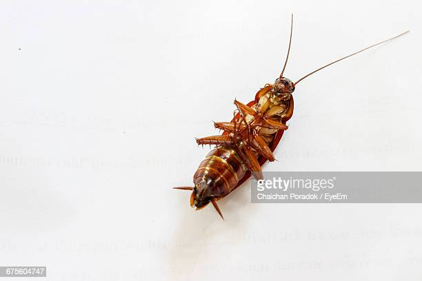 High Angle View Of Cockroach On White Background