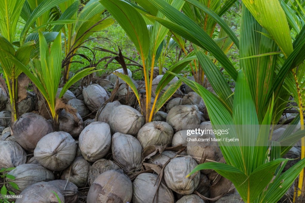 High Angle View Of Coconuts Seedlings On Field : Stock Photo