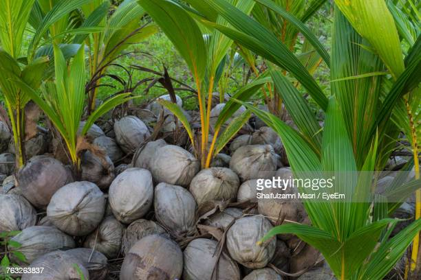 High Angle View Of Coconuts Seedlings On Field