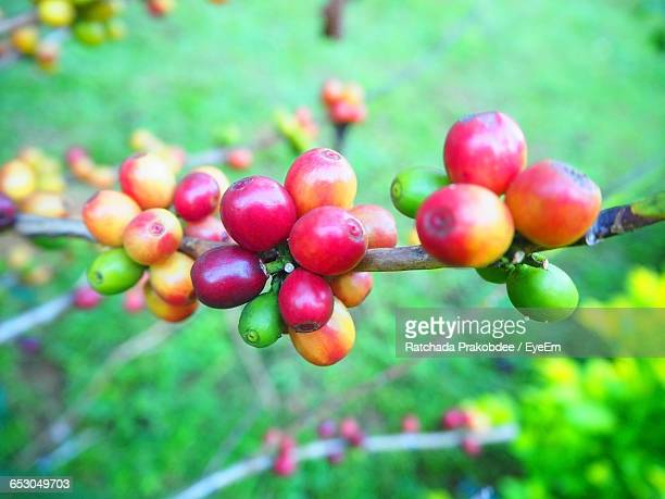 High Angle View Of Coffee Fruits On Plant