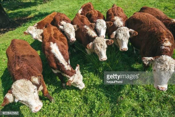 high angle view of cows grazing on field against sky - biffkor bildbanksfoton och bilder