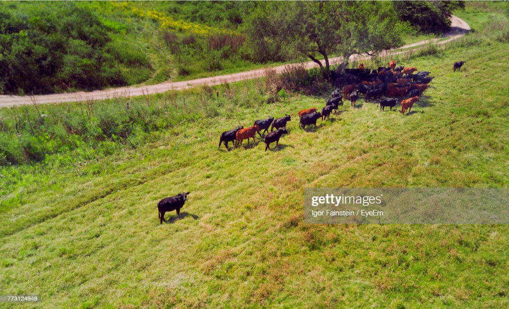 High Angle View Of Cows On Grassy Field : Stock-Foto