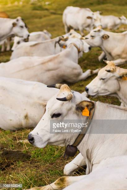 High Angle View Of Cows Relaxing On Grassy Field